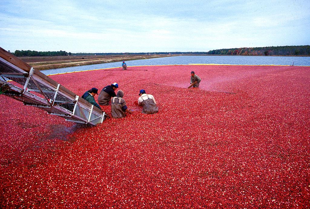 Cranberry-Ernte